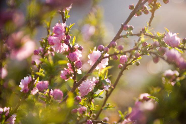Almond bushsmall