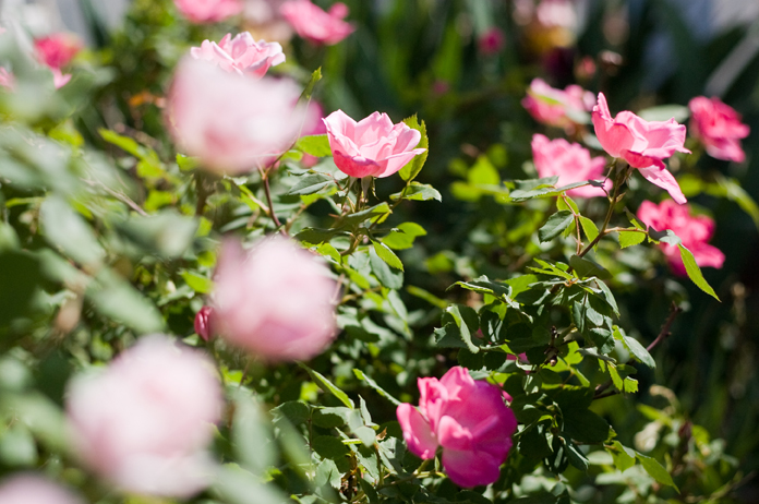 Rosessmall